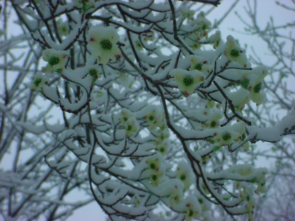 Snow covered Dogwood blooms
