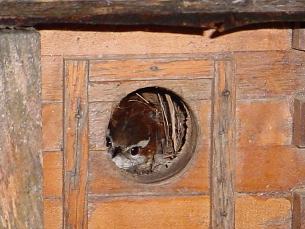 Carolina Wren on nest in birdhouse