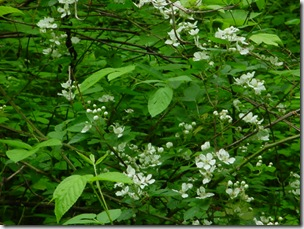 Blackberry Blooms a