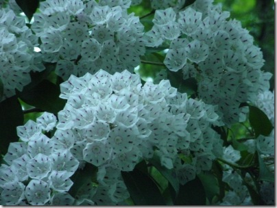 Mountain Laurel 1 (2)a