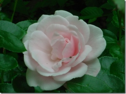 Pink Clove Rose small