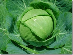 Cabbage small