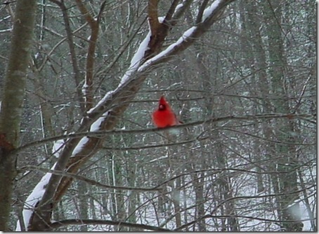 Cardinal-In-The-Snowy-Trees