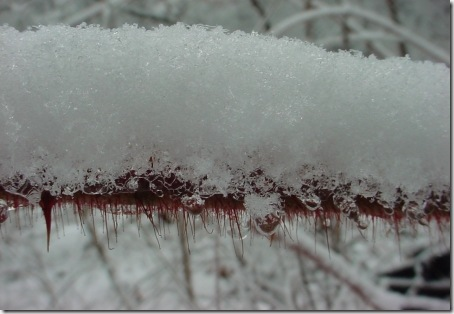 Snowy Icy Juneberry Briar