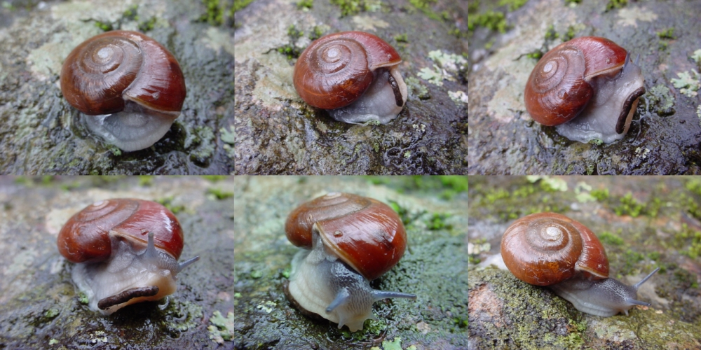 Snail Emerging From Shell