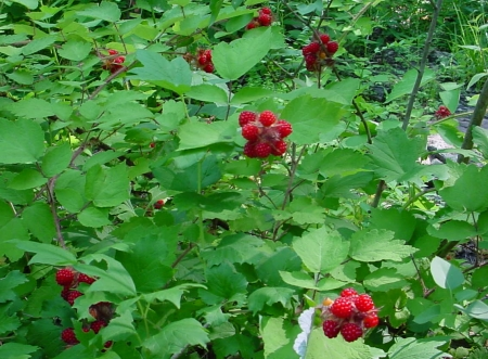 Wineberry Patch